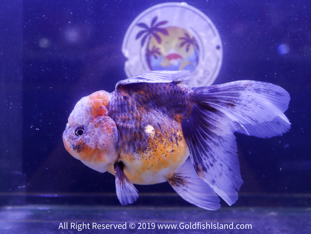 Thai Oranda 5 5-6 Inches 20419TOCAL556-1