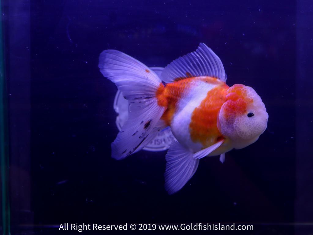 Learn These Thai Oranda Goldfish {Swypeout}