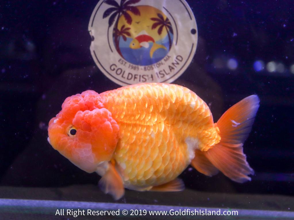 Ranchu Goldfish 5 5-6 Inches 20819RCR556T4-1