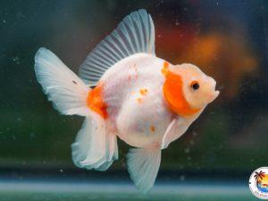 show quality Archives - Goldfish Island